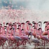Thousands of Pink Flamingos at Lake Nakuru, Kenya