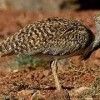 Finance division releases Rs250m to protect Houbara Bustards