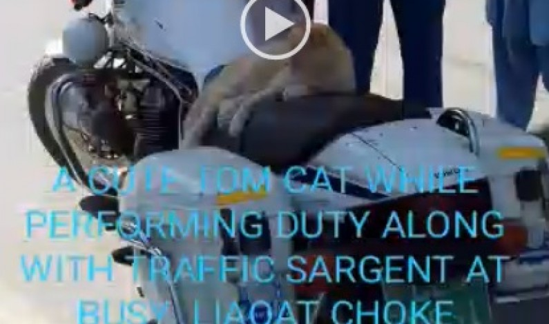 """Cat on traffic duty ""  a cute tom cat while performing duty along with traffic sargent at busy liaqat choke rawalpindi on 23rd march national day of Pakistan"