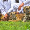 Bengali tigers in Rawalpindi zoo welcome three cubs