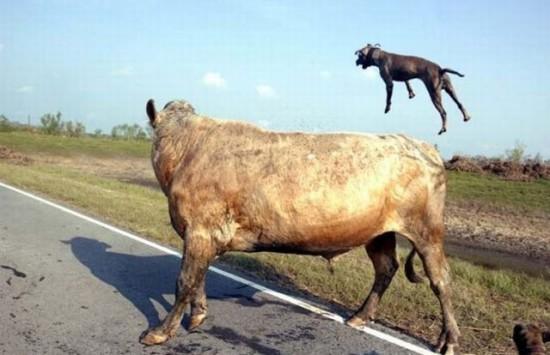 Pit Bulls vs A Bull