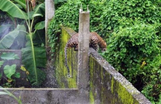 Wild Leopard Attack