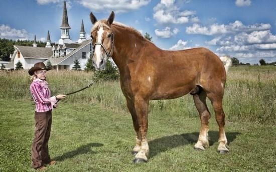 Belgian Gelding horse