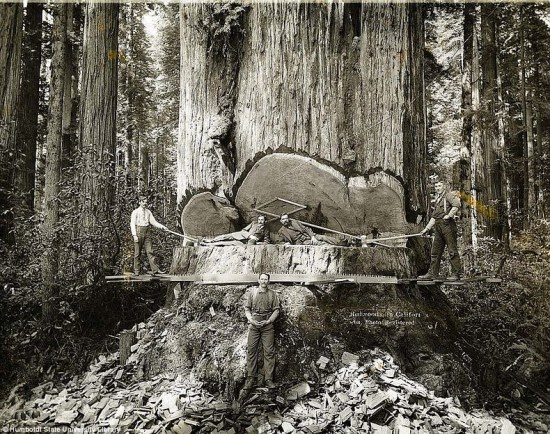 Lumberjacks Redwood