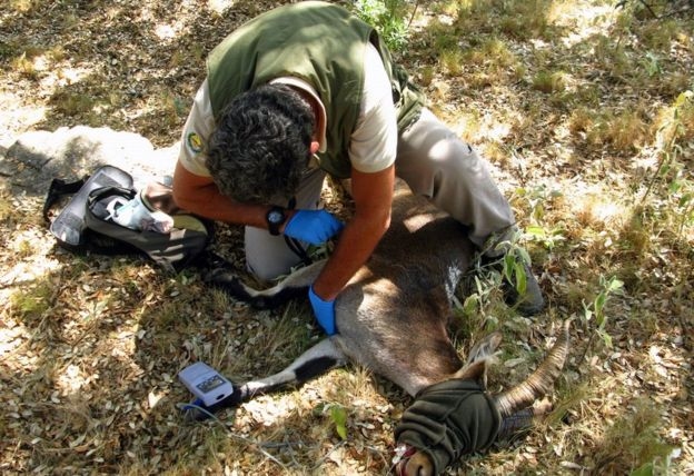 Here, a vet checks the pulse rate of a sedated ibex