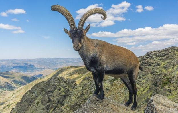 Populations of ibex are succumbing to the disease known as sarcoptic mange