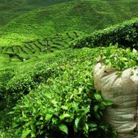 Tea import decreases 5.45 percent in first half