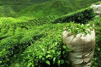 Tea import decreases 5.45 percent in first half