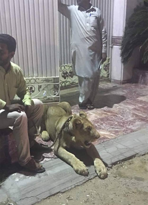 'Public ,endangerment':, Police ,detain, Karachi, lion, owner, after, video, of, 'pet', on ,streets, goes, viral