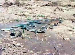 Lizards,Oil,available,in,Raja,Bazar,,Dangerous,and,harmful,for,humanity,