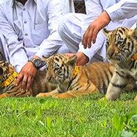 Bengali tigers in Rawalpindi zoo welcome three cubs